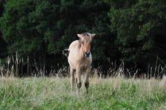 Dülmener wild horses. Wild horses in the district DÜLMEN Stock Photos
