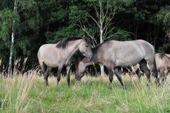 Dülmener wild horses. Wild horses in the district DÜLMEN Stock Images