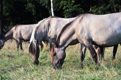 Dülmener wild horses. Wild horses in the district DÜLMEN Stock Photo