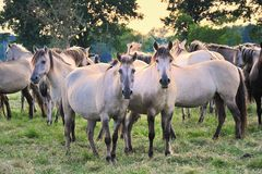Dülmener wild horses Stock Photos