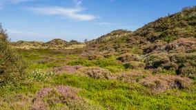 Dünenlandschaft mit blühender Heide Stockfotos