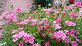 Düngemittel der jährlichen Flammenblume blüht auf dem Gartenbett stock footage