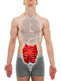 Dünndarm-Mann - Anatomie der inneren Organe - Illustration 3D Stockfoto