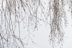 Dünne Birkenzweige auf weißem Schneehintergrund lizenzfreie stockfotografie