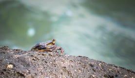 D?nne gesch?lte Felsen- oder grapsidkrabbe, Grapsus Tenuicrustatus, sitzend auf Felsen, Kauai, Hawaii, USA stockfotografie