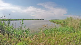 Dünne Schilfe nahe dem schönen See stock video