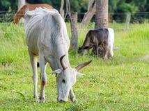 Dünne weiße Kuh, die grünes Gras von der Weide isst Lizenzfreies Stockbild