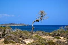 Dünner einsamer stehender Baum auf dem Hintergrund des Meeres, Chrissi Island, Griechenland stockbilder