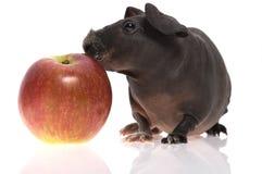 Dünnes Meerschweinchen mit Apfel Lizenzfreie Stockfotos