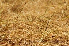 Dürre, gebrannter Rasen im Sommer Stockbilder