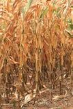 Dürre lässt trockenen Mais Stockfotos