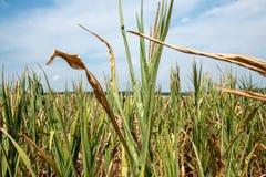 Dürrenmaisfeld im heißen Sommer Lizenzfreies Stockfoto