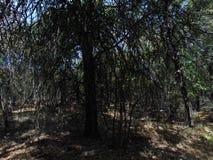 Düstere Bäume für immer Lizenzfreies Stockfoto