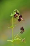 Düstere CraneÂ's-Rechnung, Trauerwitwe oder schwarze Witwe (Pelargonie phae Lizenzfreie Stockbilder