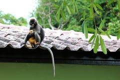 Düstere Langur- oder Blattaffen sind mitfühlendes gelbes Baby im Garde Stockbild