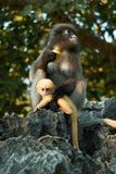 Düstere Langurmama und -baby Stockbilder