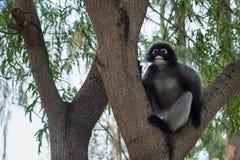 Düsterer Affe auf Baum thailand Lizenzfreie Stockbilder