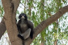 Düsterer Affe auf Baum thailand Stockfotos