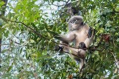 Düsterer Affe auf Baum thailand Lizenzfreie Stockfotos