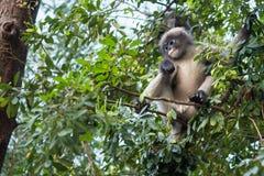 Düsterer Affe auf Baum thailand Stockfoto