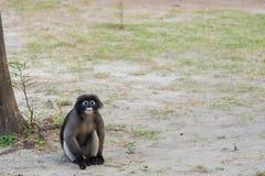 Düsterer Affe aus den Grund thailand Lizenzfreies Stockfoto