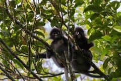 Düsterer Affe des Blatt-zwei, bebrillter Langur, bebrillter Blattaffe Stockfotos
