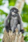 Düsterer Blatt-Affe Stockfotografie