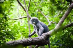 Düsterer Blatt-Affe auf dem Baum Stockfotos