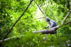 Düsterer Blatt-Affe auf dem Baum Lizenzfreie Stockbilder