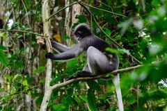 Düsterer Blatt-Affe, düsterer Langur, bebrillter Langur Lizenzfreie Stockbilder