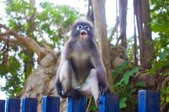 Düsterer Blatt-Affe im tiefen Wald Stockfoto