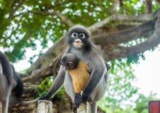 Düsterer Blatt-Affe im tiefen Wald Lizenzfreies Stockbild