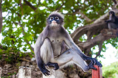 Düsterer Blatt-Affe im tiefen Wald Stockfotos