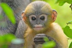 Düsterer Blatt-Affe mit ihrem Sohn Lizenzfreies Stockbild