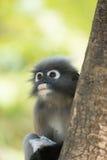Düsterer Blatt Languraffe oben auf einem Baum Stockfotografie