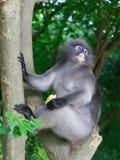 Düsterer Blattaffe, Affe des langen Schwanzes oder Langur, der Maissitzen hält und auf einem Baum am Affemonument sich entspannt Lizenzfreies Stockbild
