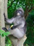 Düsterer Blattaffe, Affe des langen Schwanzes oder Langur, der Maissitzen hält und auf einem Baum am Affemonument sich entspannt Lizenzfreie Stockbilder