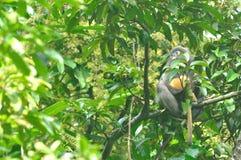 Düsterer Blattaffe (Trachypithecus-obscurus) mit ihrem Baby in wildem Stockfotos
