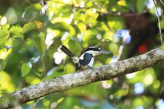 Düsterer Eisvogel in Halmahera-Insel, Indonesien Lizenzfreies Stockbild