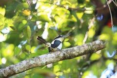 Düsterer Eisvogel in Halmahera-Insel, Indonesien Lizenzfreie Stockbilder