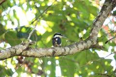 Düsterer Eisvogel in Halmahera-Insel, Indonesien Lizenzfreie Stockfotografie