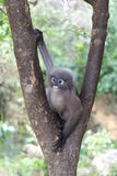 Düsterer Langur; Bebrillter Langur; oder Trachypithecus-obscurus Affe, der auf einem Baum sitzt Stockbilder