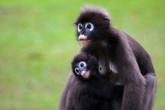 Düsterer Langur ist stillend Baby selektiver Fokus Stockfoto