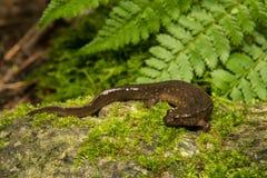 Düsterer Salamander Stockfotos