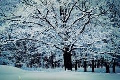 Düsterer Tag des Winters, ein großer Baum bedeckt mit Schnee, am Rand stockfotografie