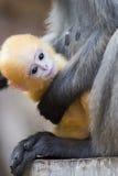 Düsteres Blatt-Affe-Baby Stockfotografie