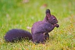 Düsteres Eichhörnchen stockbild