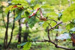 Dąb gałąź w jesień lesie obrazy royalty free