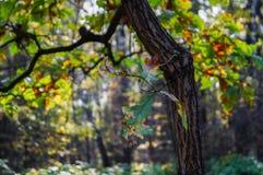 Dąb gałąź w jesień lesie fotografia royalty free