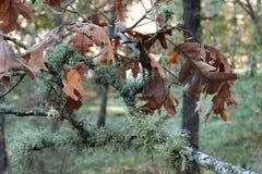 Dąb gałąź z liśćmi i brązem Obraz Stock